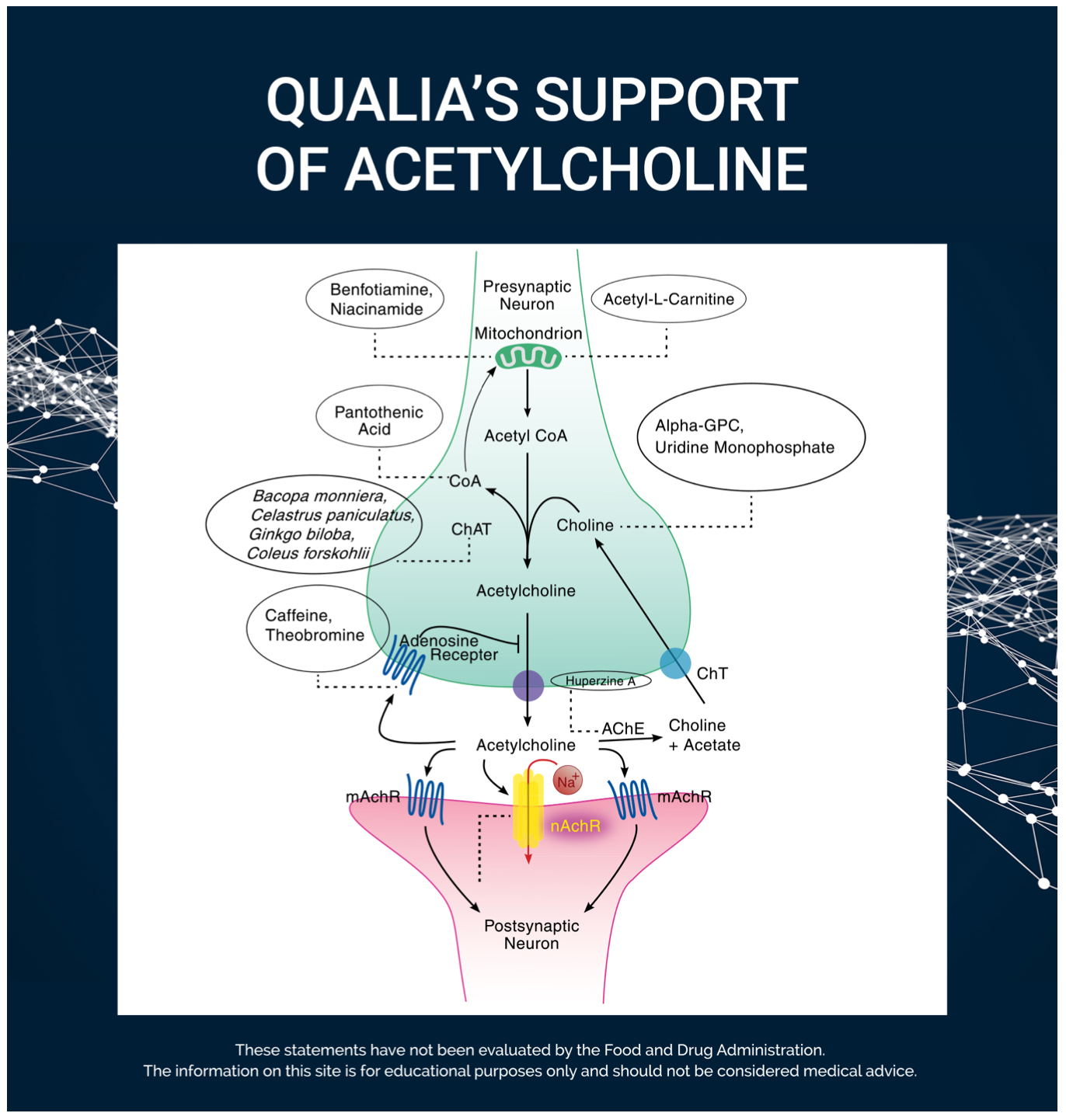 Qualua's support of Acetylcholine
