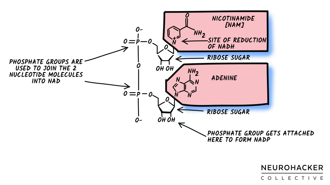 NAD: Introduction to an Important Healthspan Molecule