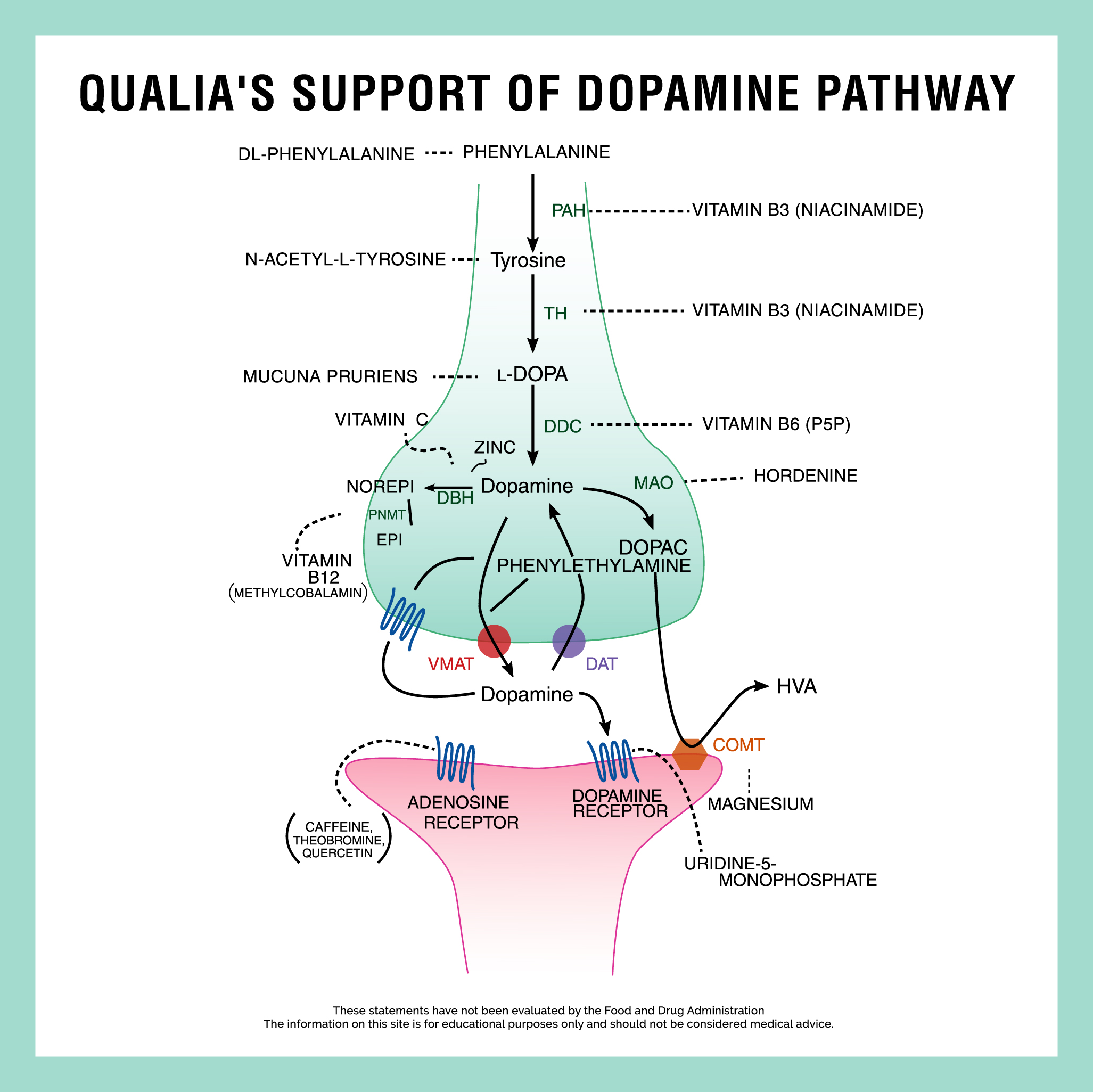 Qualia's support of the dopamine pathway