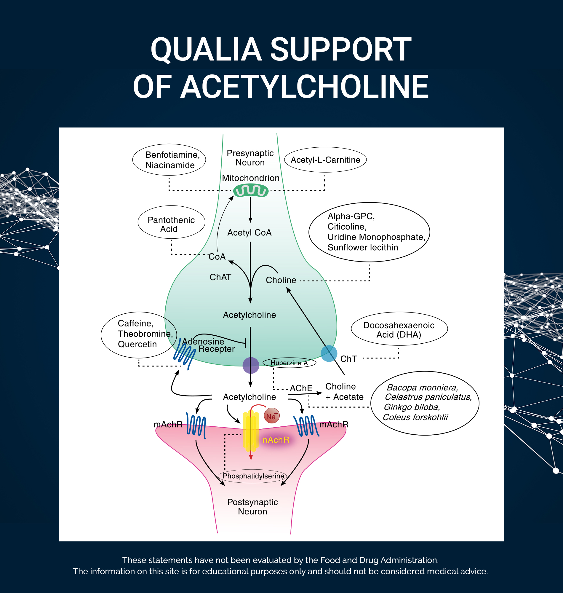 Qualia's Support of Acetylcholine
